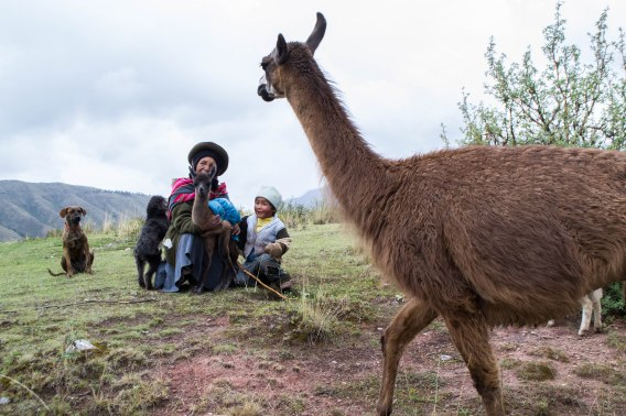 A llama walks in front of a herding family as they pose for a portrait in the mountains of Peru near Cusco.