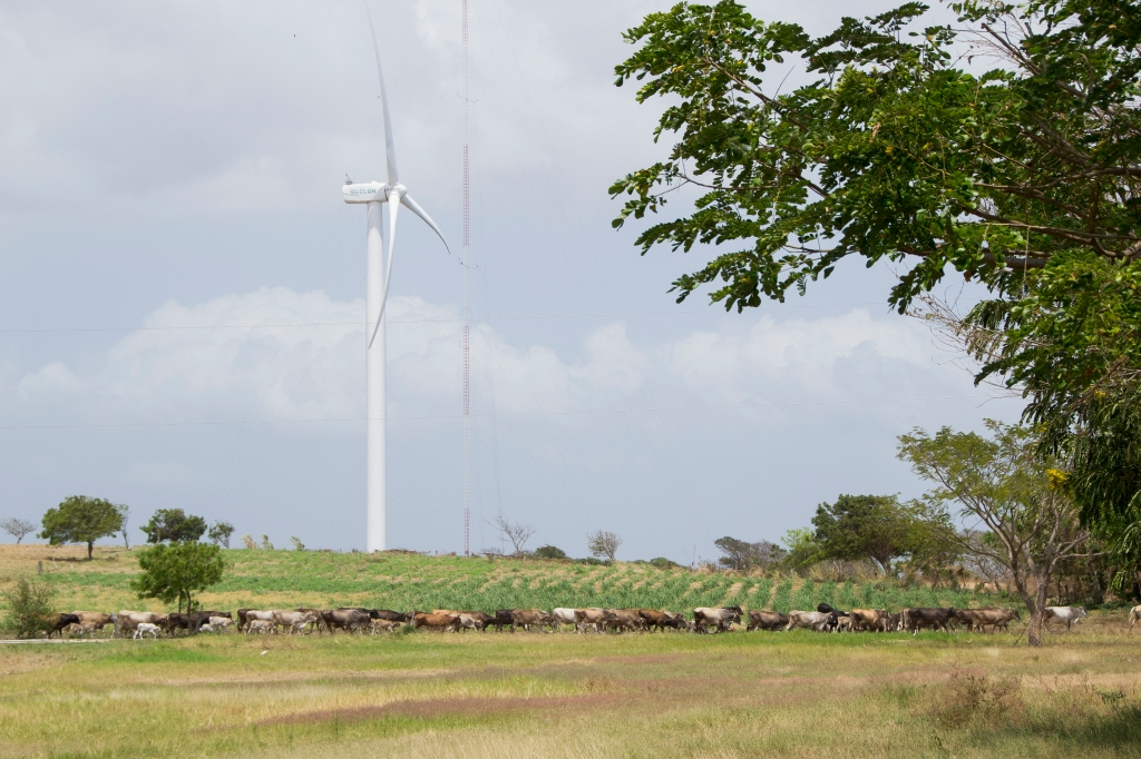 Cattle cross a field in Rivas, Nicaragua, in front of wind turbines on March 11, 2015. IC Power rents the land for Amayo from locals who still use it to ranch, Pentzke said. Danika Worthington/JMC 470